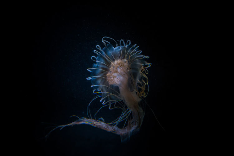 Aquarium Aquarium Life Black Background Canon Canon 70d Canonphotography Diving Jellyfish Jellyfish Gallery Natgeo Natgeowild Qualle Quallen SCUBA Scuba Diving Seacreatures Seacrets Tauchen Underwater Underwater Photography Underwaterphotography Wildlife Wildlife & Nature Wildlife Photography Wildlifephotography
