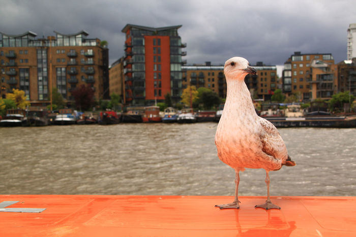 Animal Themes Animals In The Wild Architecture Beak Bird Building Exterior EyeEm Gallery Check This Out Close-up Cruiser Day Focus On Foreground Nature No People One Animal Outdoors MPOTM - WeekendChallengeNo1 Reflected Light Sea Gull Seagull Seagull In The City Sky Water The Street Photographer - 2017 EyeEm Awards The Purist (no Edit, No Filter) EyeEm LOST IN London Neon Life Adventures In The City