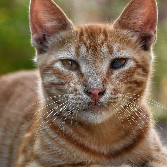 Portrait Looking At Camera Pets Domestic Cat Feline Close-up