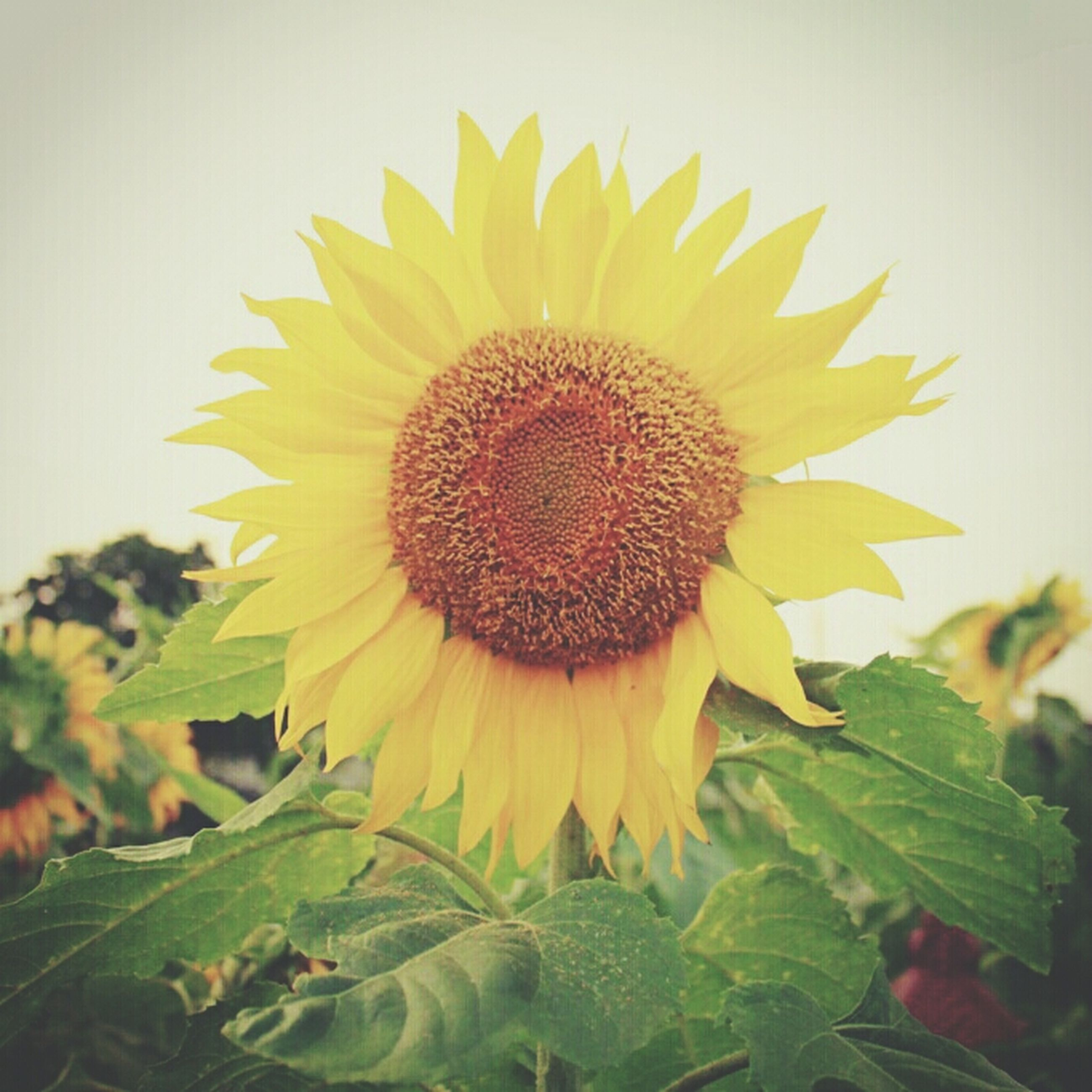 flower, sunflower, flower head, freshness, fragility, yellow, petal, growth, beauty in nature, leaf, single flower, plant, close-up, pollen, blooming, nature, in bloom, focus on foreground, no people, day