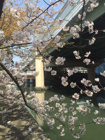 Japanese cherry blossoms Hanami Cherry Blossoms Beautiful Nature Sakura River View Japan OSAKA Pink Flower