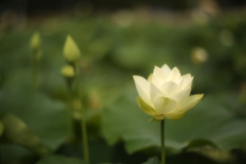 Waver. EyeEm Nature Lover Flowers Lotus Fukui Japan Canon5Dmk3 CarlZeiss Planar Bokehlicious