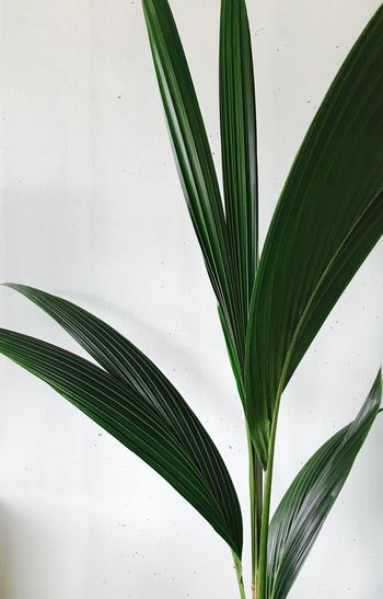 Leaf Green Color Close-up No People Growth Indoors  Day Freshness Palm Palm Tree Green House Plant Groene Kamerplant Freshness Green Color Interior Design Cocopalm