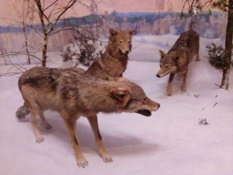 Senckenberg Naturmuseum Diarama  Frankfurt Am Main Wolf Animals