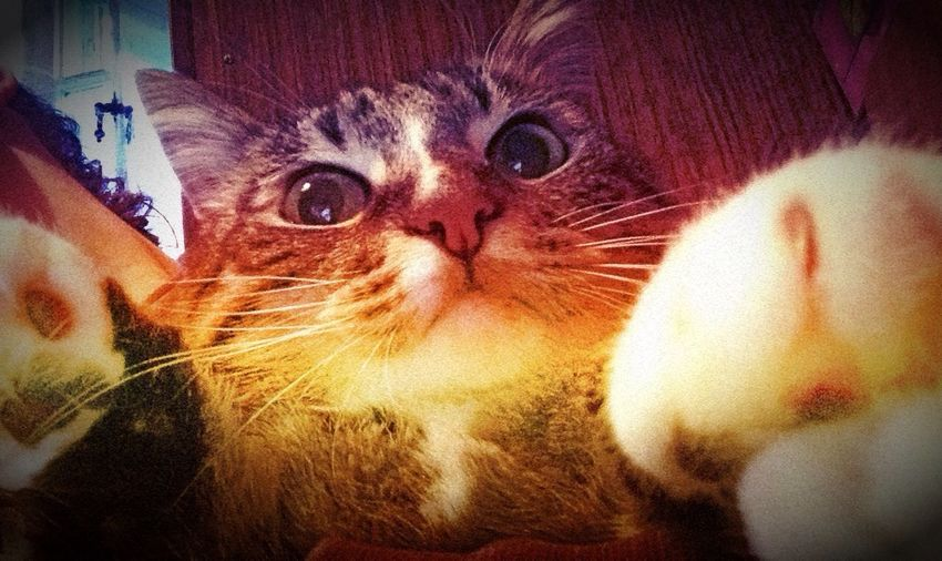 Yo! Pats Cats (null)
