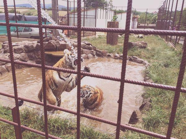 Zoo Tiger Hungary Drinking Water Attack Jump