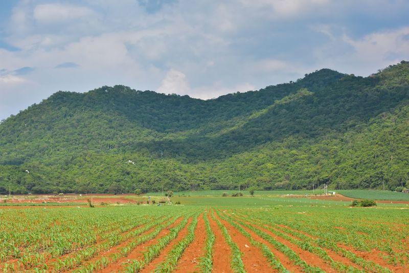 Corn farm Plant Beauty In Nature Scenics - Nature Growth Land Landscape Environment