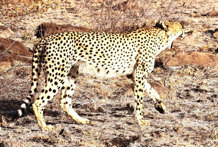 Wanna race? Cheetah is fastest animal on land. 60mph+. Animal Themes Animals In The Wild Safari Animals Krugernationalpark South Africa Sabi Sands Cheetah Nationalgeographic Getty Images EyeEm Best Shots EyeEm Nature Lover Zoology Animal Teeth Beauty In Nature