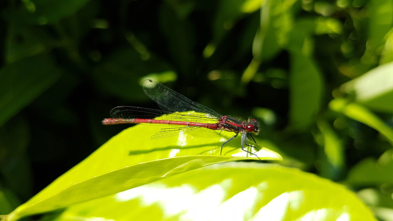 insect, green color, one animal, animal themes, animals in the wild, leaf, nature, plant, outdoors, day, close-up, damselfly, no people