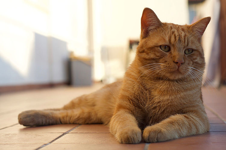 Close-Up Of Ginger Cat Lying On Floor