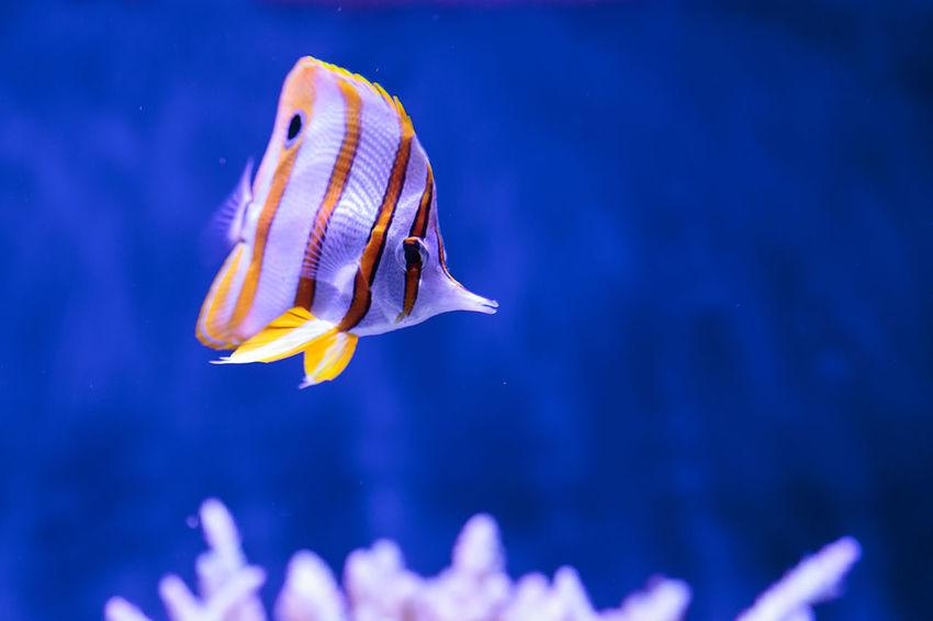 Copper-banded butterflyfish, Chelmon rostratus, in a reef aquarium Animal Themes Butterflyfi Butterflyfish Chelmon Rostratus Close-up Copper-banded Butterflyfish Fish Nature No People One Animal Sea Life UnderSea Underwater Water