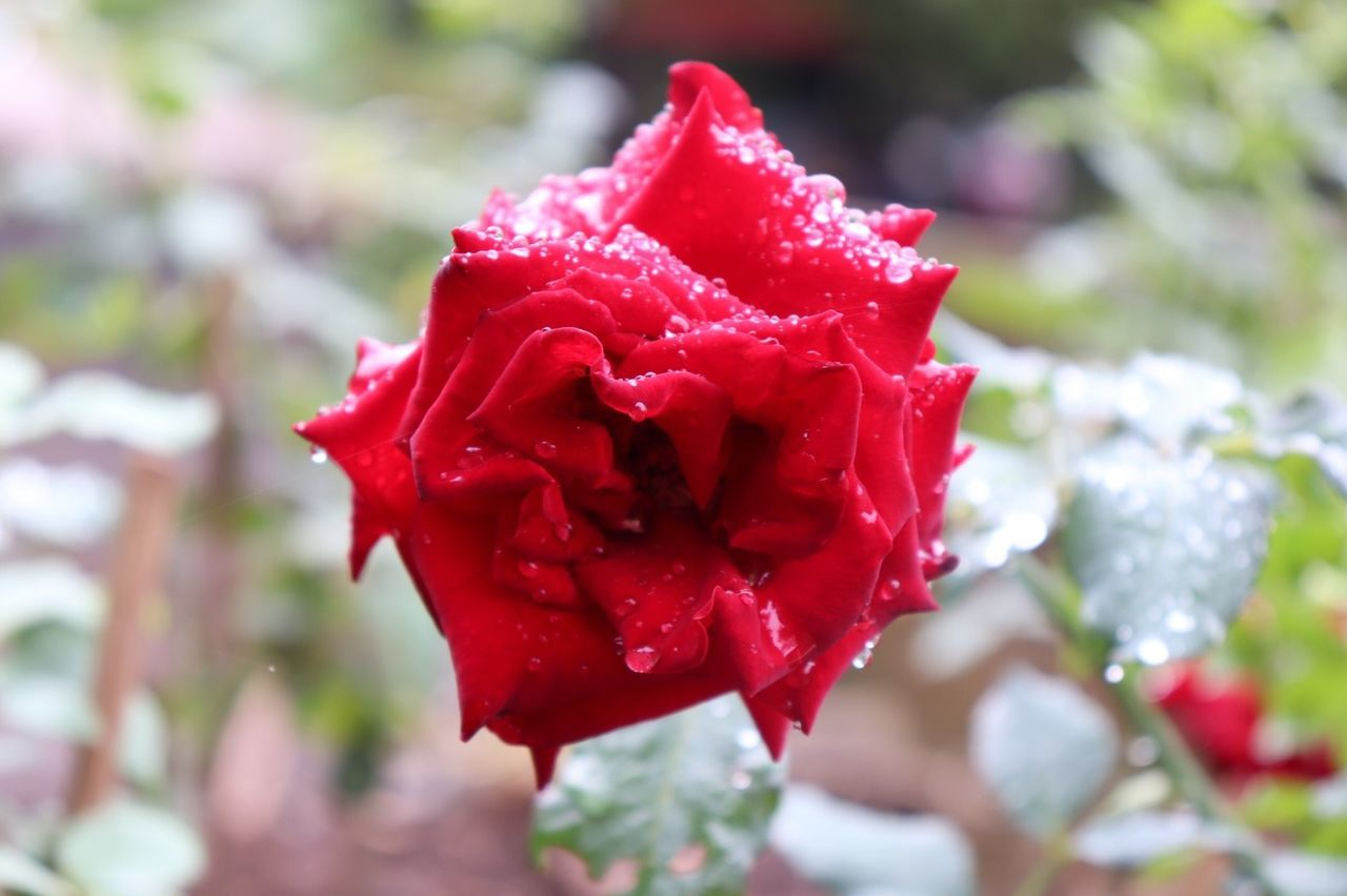 flower, flowering plant, red, beauty in nature, close-up, petal, plant, rose, freshness, rose - flower, flower head, inflorescence, vulnerability, fragility, growth, focus on foreground, day, nature, no people, outdoors