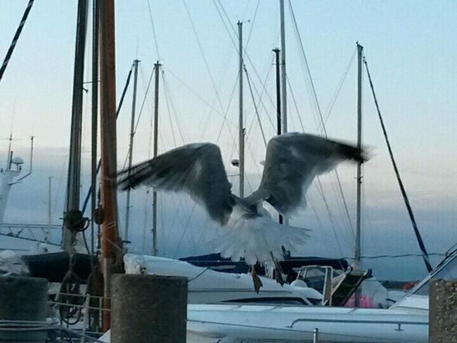 Harbour Life SEAGULL IN FLIGHT Seagull Flying Free Motion Life In Motion Sailing Boats Birds Of EyeEm  Bird Photography