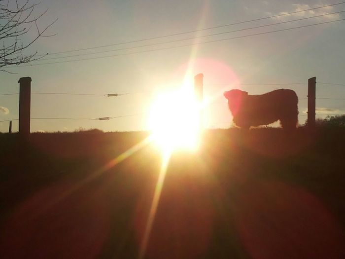 Saturday Evening Cow Highlandcattle Sunset