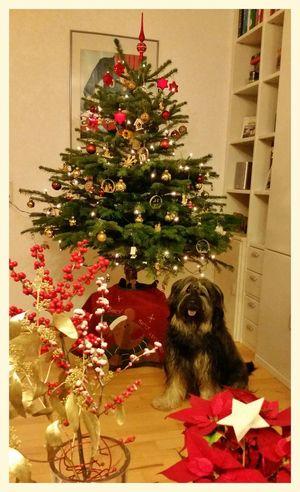 Bentjesgosaugustin MerryChristmas Merryxmas Ilovemydog Gos D'atura Mydog I Love My Dog Dog