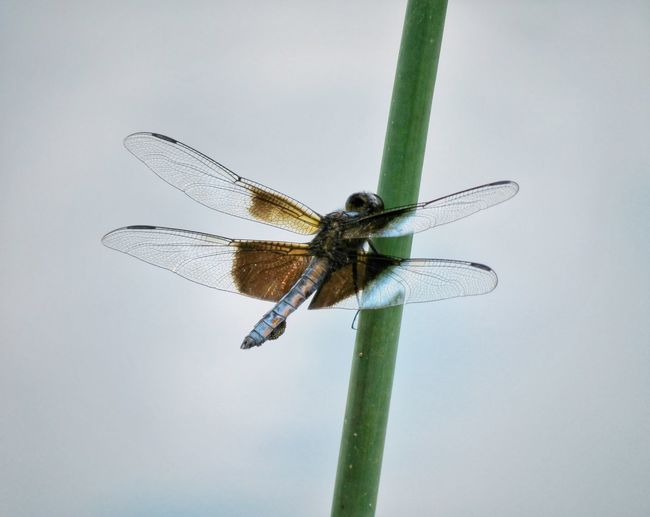 Close-up of dragonfly on plant against white background