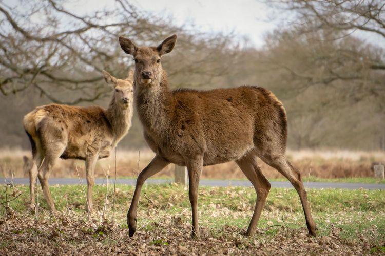 Deer Park London Wildanimals Spring Portrait Mountain Standing Grass