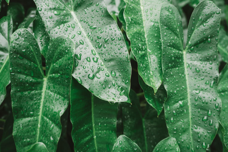 Leaf Wet Drop Plant Part Green Color Growth Water Close-up Plant Nature No People Beauty In Nature Day Rain Freshness RainDrop Focus On Foreground Vulnerability  Outdoors Leaves Rainy Season Dew Purity