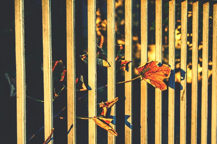 Close-up Leaf Metal Fence Change Focus On Foreground Railing In A Row Iron - Metal Day Tranquility Zoology Outdoors No People Season  End Of Summer Autumn Leaves Modern Autumn Colors The City Light