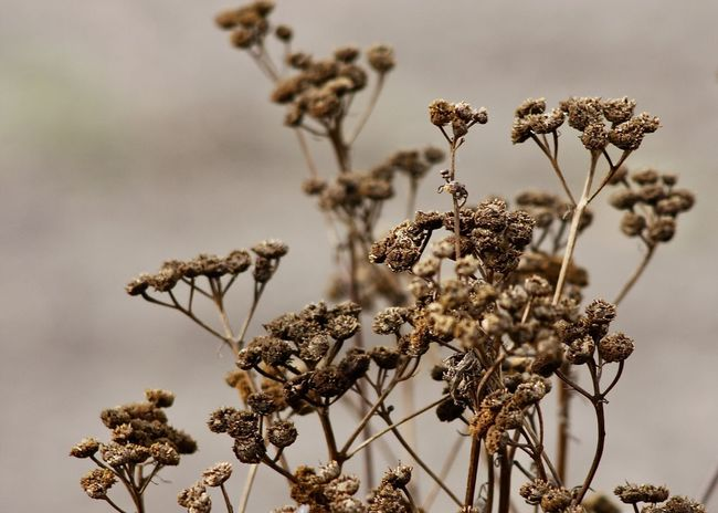 autumn mood, dried tansy flowers Autumn Beige Farm Field Backgrounds Beauty In Nature Brown Change Close-up Countryside Dried Dried Plant Fall Flower Flower Head Focus On Foreground Fragility Growth Landscape Nature Outdoors Plant Season  Tansy