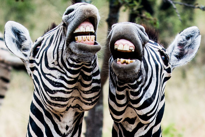Laughing Zebra #stripes #wildlife #Zebra  Africa Gamedrives Safari