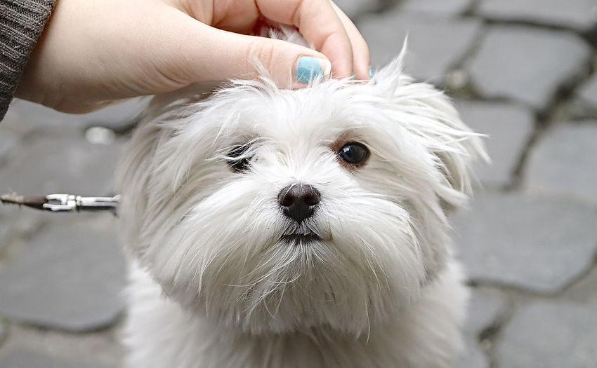 Close-up of hand holding white dog