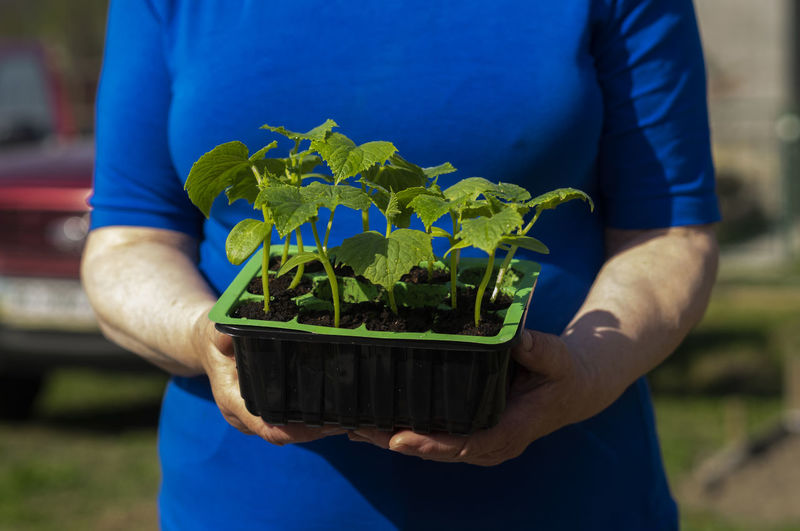 Hands of senior caucasian woman is holding a container with cucumber seedlings. Caucasian Woman Holding Gardening Container Cucumber Seedlings Blue Midsection Real People One Person Plant Growth Focus On Foreground Nature Green Color Leaf Hand Men Plant Part Human Hand Lifestyles Outdoors Care Day Front View Casual Clothing Leisure Activity