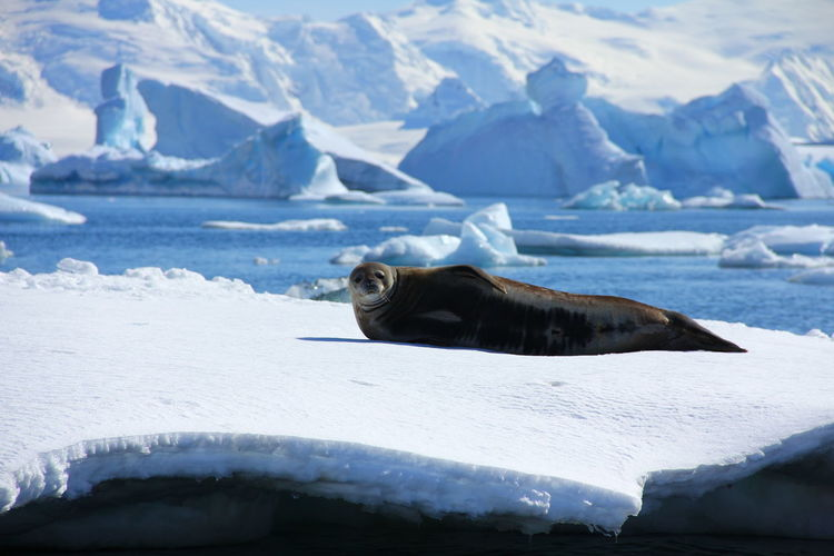 Seal Lying On Ice Glacier