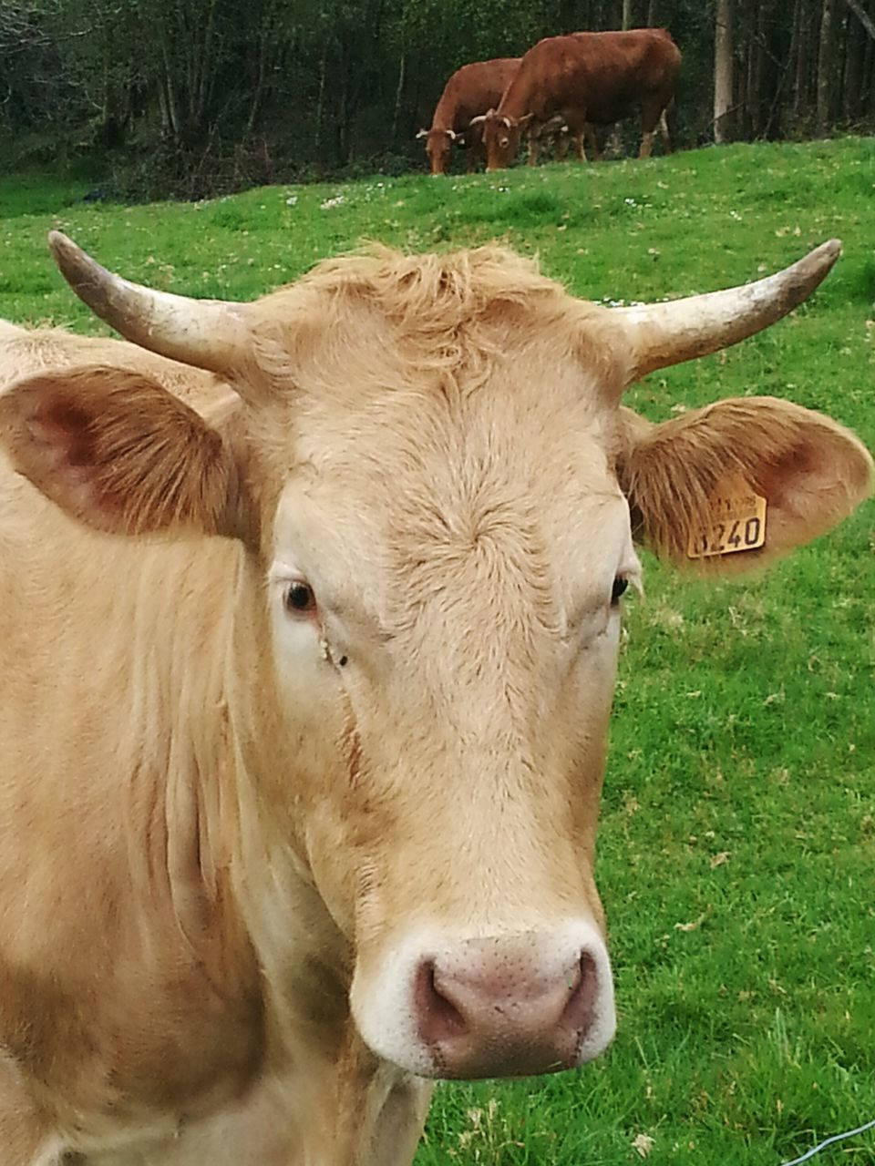 cow, domestic animals, animal themes, mammal, domestic cattle, livestock, one animal, cattle, field, grass, green color, day, domesticated animal tag, nature, close-up, outdoors, no people