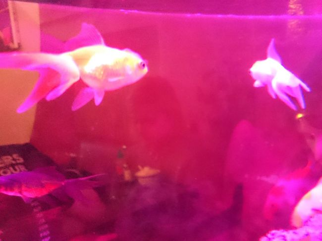 Goldfish Goldfish In Water Pink Color Underwater No People Close-up Water Backgrounds Multi Colored Indoors  UnderSea Sea Life Nature Animal Themes Day Millennial Pink