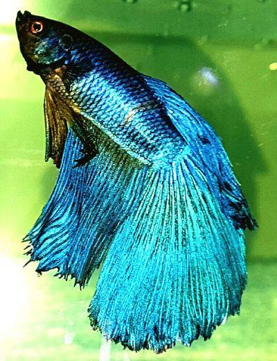 Check This Out Bettafishcommunity Bettas Fighter Fighter Fish Bettafish Betta Lovers Fish Aquarium Moon Tail Shiny Blue Blue Colored Scales And Fins Eyeem Photography EyeEm Gallery EyeEm Eyeem4photography My Betta