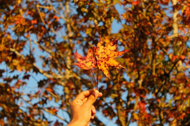 Cropped image of hand holding maple leaves against trees during autumn