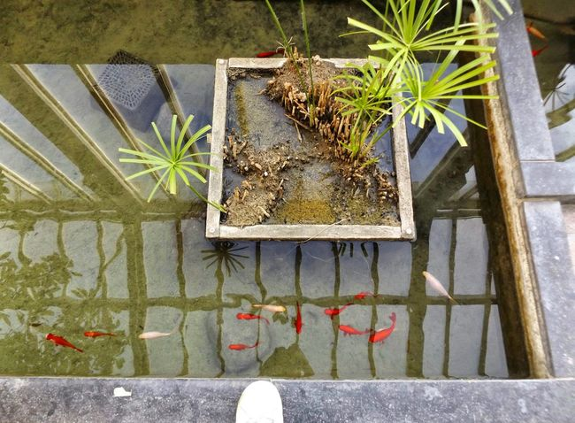 Botanique, c'est magique. Fishes Aquarium Aquatic Life Sneaker View From Above Built Structure Close-up Flower Yard Green Color Growing Growth Ivy Leaf Nature Outdoors Plant Potted Plant Reflection Bruxellesmabelle Reflections In The Water Nature's Diversities