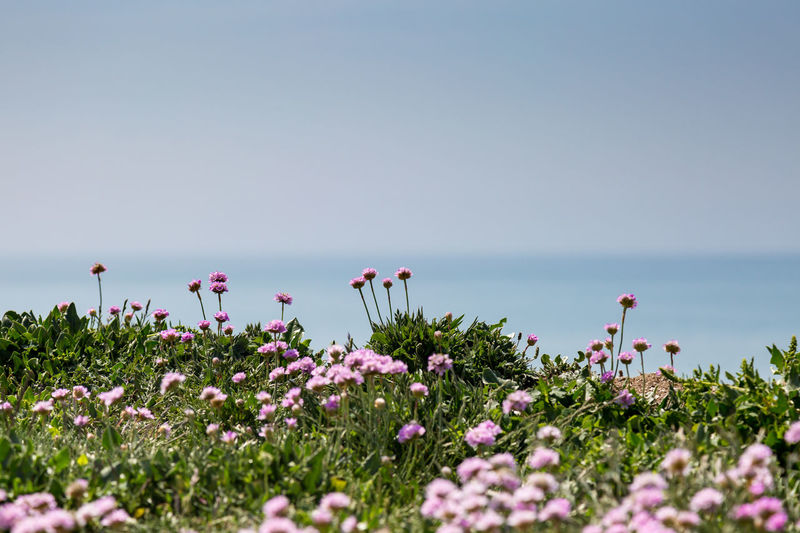 Sea Thrift Flowers Beauty In Nature Clear Sky Cliff Edge Close-up Coastal Coastal Flowers Day Flower Flower Head Fragility Freshness Growth Horizon Over Water Landscape Nature No People Outdoors Plant Scenics Sea Sea Thrift Seaford Sky Tranquility Water