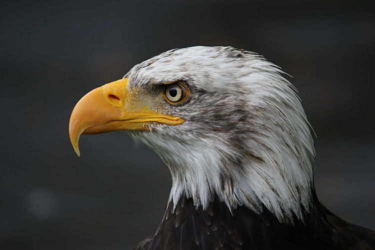 Close-up of eagle looking away outdoors