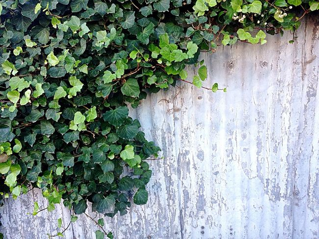 Wall Fence Leaves Space Rust Flaking Paint Overgrown And Beautiful Overgrown Hedge Plant Creeping Vines Corregated Steel Australia No People Sunshine Daylight