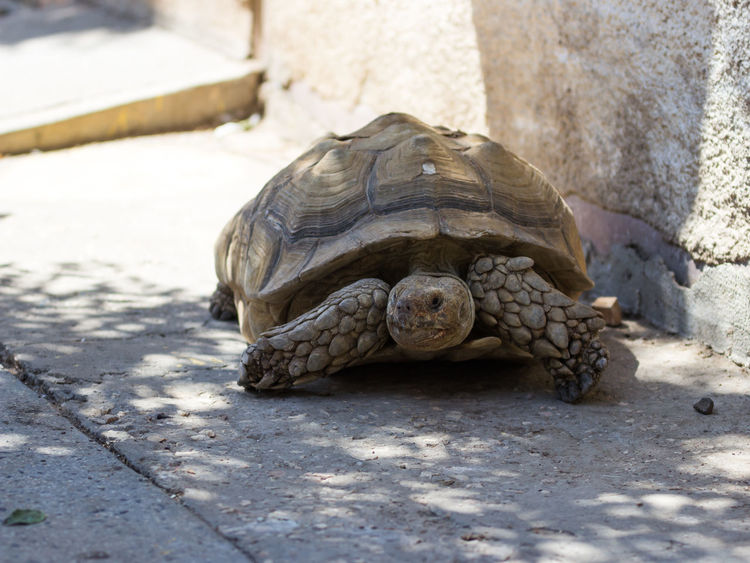 Earthen turtle crawling in the early morning on the track Animal Calculus Concretions Crawling Creepily Day Early Earthen Earthy Gum Nature No People Outdoors Rareripe Rathen Reptilien Rock Scale  Soon Testudinate Testudo Tortoise Tortoiseshell Turtle Wildlife