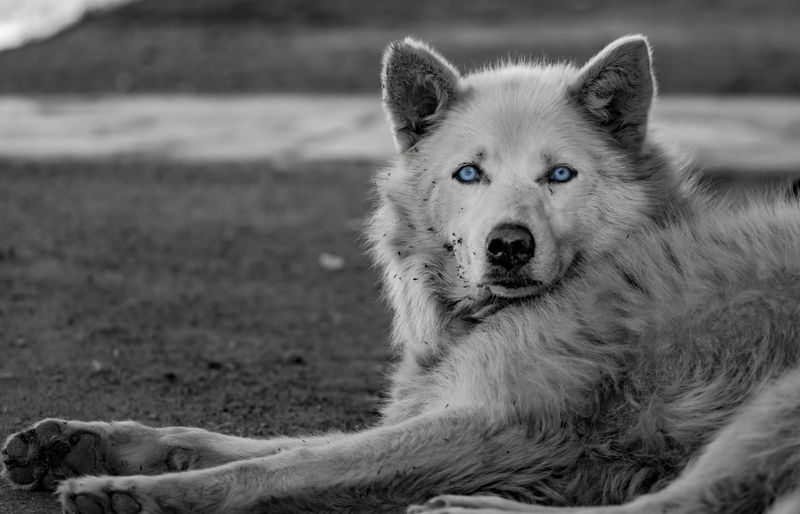 Black And White White Husky Blue Eyes Dog Portrait Dirty Dog Abandoned Pet White Dog Outdoor No People Lying Down EyeEm Selects Pets Portrait Dog Looking At Camera Animal Eye Puppy