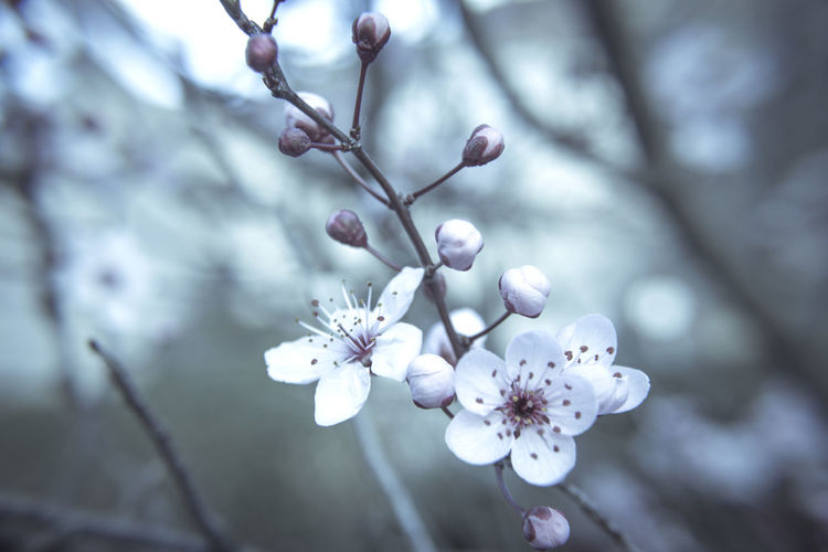Beauty In Nature Blossom Branch Cherry Blossom Cherry Tree Close-up Day Flower Flower Head Flowering Plant Focus On Foreground Fragility Freshness Fruit Tree Growth Nature No People Outdoors Plant Plum Blossom Pollen Springtime Tree Twig Vulnerability