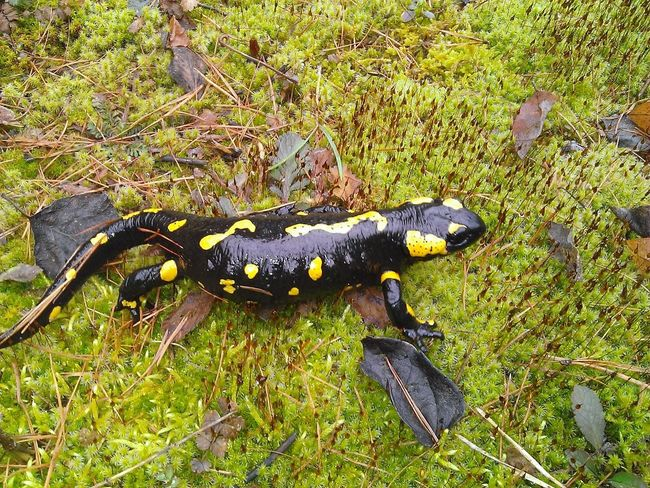Hi there! Walking Around Mobilephotography Nature High Contrast Colour Animals In The Wild Animal Animals Nature Photography Forest Fishing Mobile_photographer Along The Way Colorful Nofilter Noedit Salamander Green Black&Yellow