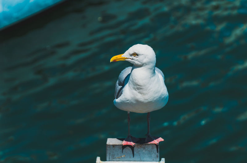 Cape Cod Seagull Cape Cod Travel Destinations Tourist Attraction  Tourist Destination Travel Sony A6300 18-105mm No People Nature Outdoors Seagull Nautical Bird Animal Animal Wildlife Animal Themes Vertebrate Animals In The Wild One Animal Perching Focus On Foreground Day Water Sea Bird Close-up White Color Beak Wooden Post
