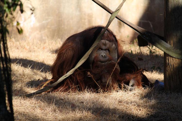 Close-Up Of Orangutan In Zoo