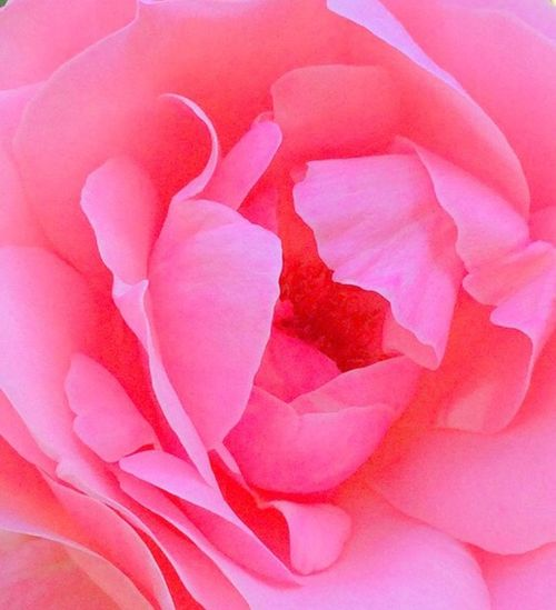 Rose from a