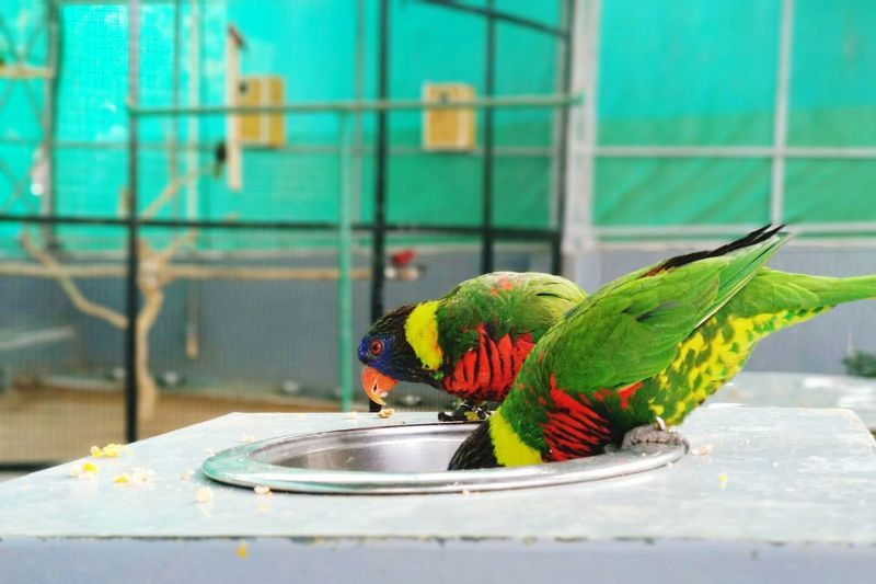 morning breakfast.. birds Feeding Rainbow Lorikeet Bird Perching Parrot Cage Animal Themes Close-up Colorful Trapped Prison Bars Confined Space Prison