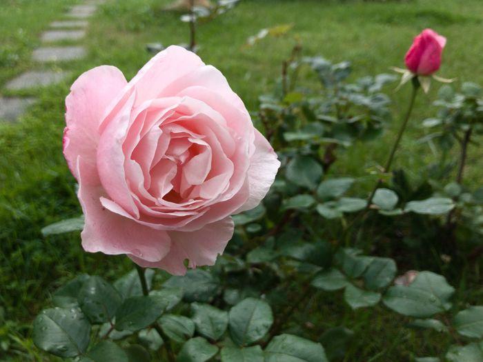 Rose Flower Flowering Plant Plant Beauty In Nature Petal Freshness Pink Color Fragility Rosé Flower Head Rose - Flower Nature No People Softness