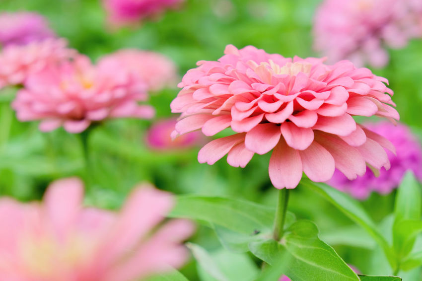 Pink daisy gerbera flowers in garden Garden Flowers Beauty In Nature Blooming Close-up Daisy Gerbera Flowers Day Flower Flower Head Fragility Freshness Gerbera Gerbera Daisy Growth Nature No People Outdoors Petal Pink Color Pink Daisy Pink Flower Plant