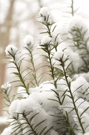 close up of Juniper bush branches covered in snow Background Beauty In Nature Branch Close-up Cold Temperature Day Evergreen Juniper Nature Needle - Plant Part No People Outdoors Plant Seasons Snow Snow Covered Branch Tree Winter Wintertime