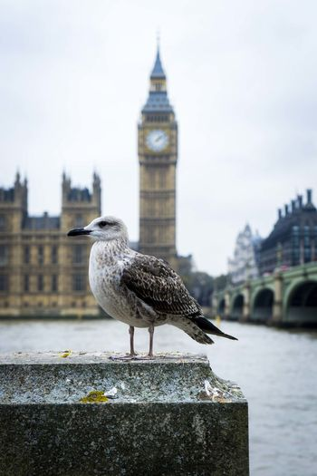 Side view of seagull perching on retaining wall against big ben