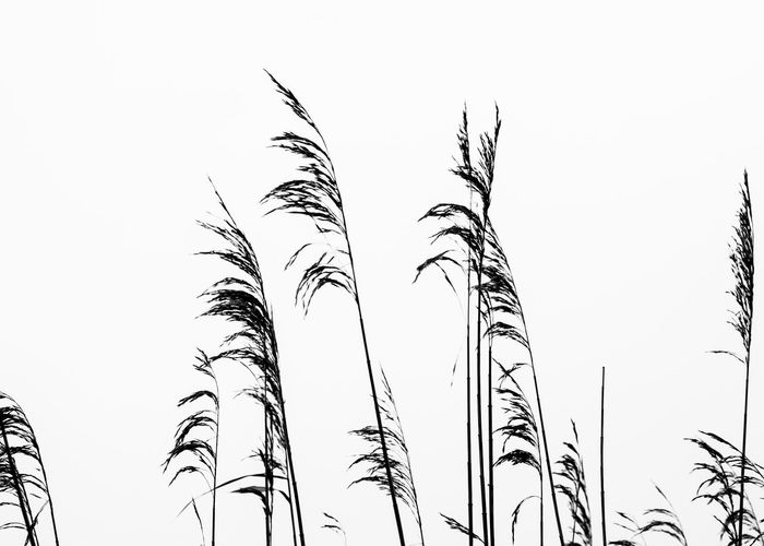 Beauty In Nature Blackandwhite Clear Sky Day Growth Low Angle View Nature No People Outdoors Simplicity Sky