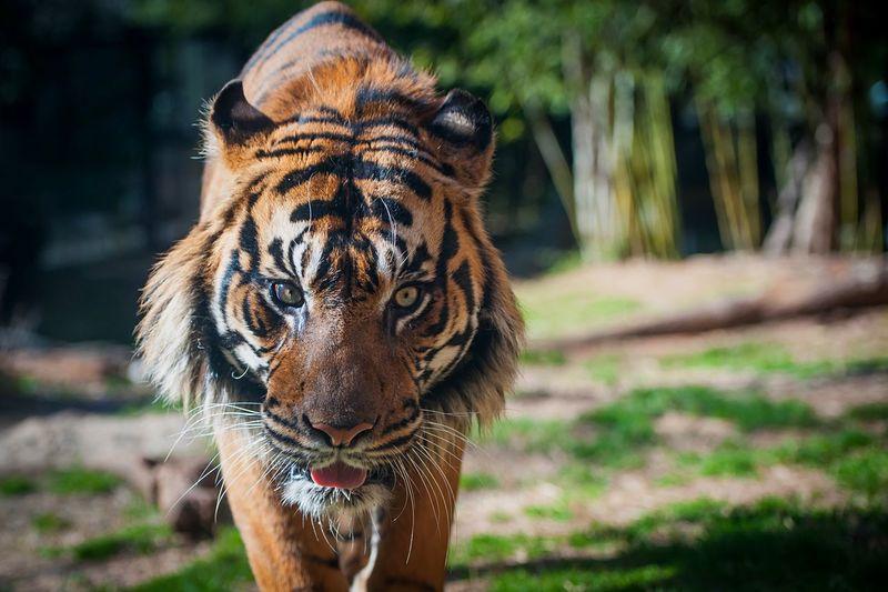 Portrait of tiger walking on field